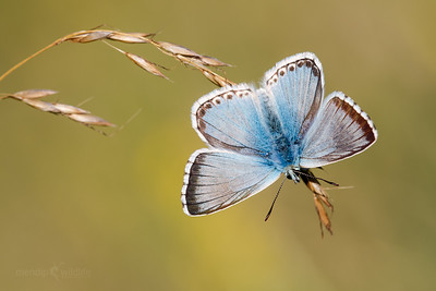 Chalkhill Blue - (male)