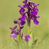 Green winged Orchid - Anacamptis morio