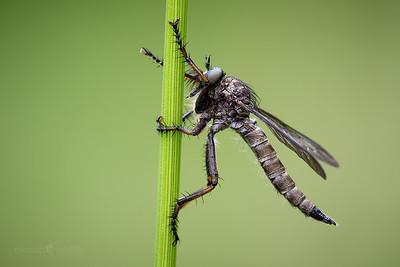 Kite-tailed Robberfly