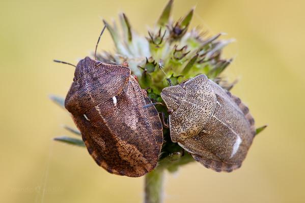 Tortoise Shieldbug