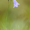 Harebell - Campanula rotundifolia