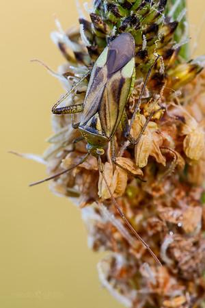 Lucerne Bug