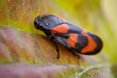 Red & Black Froghopper
