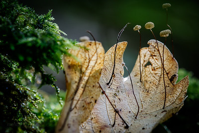 Parachute mushrooms