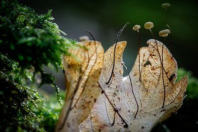 Parachute mushrooms