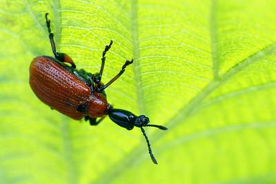 Hazel Leaf Roller Weevil