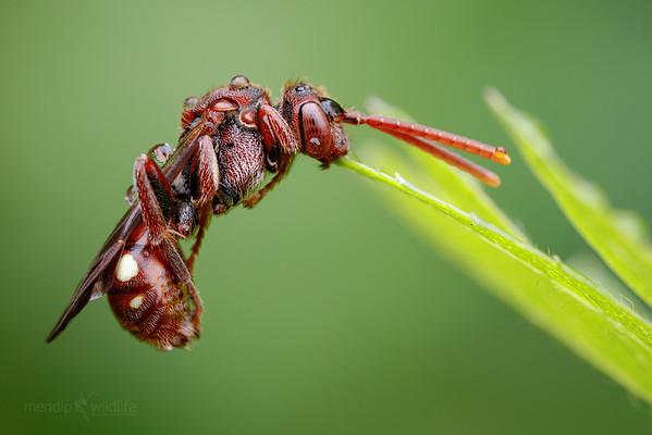 Small Nomada Bee