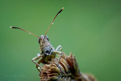 Rufous Grasshopper