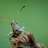 Rufous Grasshopper - Gomphocerippus rufus