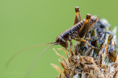 Dark Bush Cricket