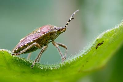 Hairy Shieldbug