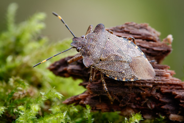 Bronze Shieldbug