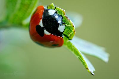 Seven-spot Ladybird