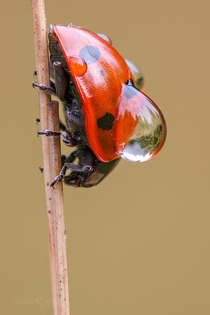 7-spot Ladybird