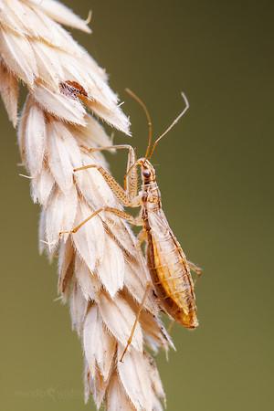 Marsh Damsel Bug - Nabis limbatus