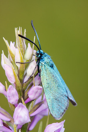 Forester Moth
