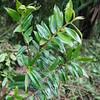 SAJ0317 Eurya cf. dolichostyla
