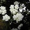 SAJ0980 Phaleria