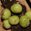 SAJ1033 Phaleria sogerensis