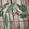 SAJ1132 Phaleria okapensis