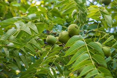 Fruits, Fox Hollow Trail, Shenandoah National Park, Virginia