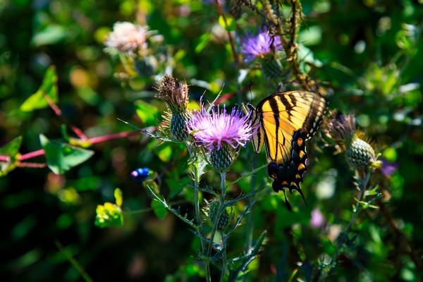 Butterfly, Shenandoah National Park, virginia