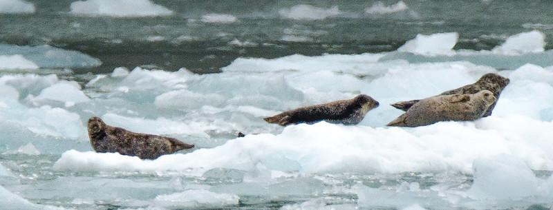 Seals on an iceberg