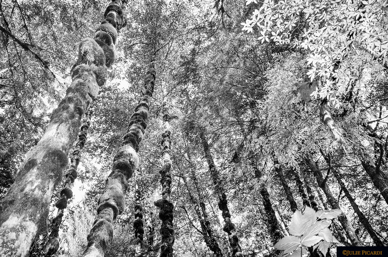 Old Growth Forest in B&W at Salmon Bay