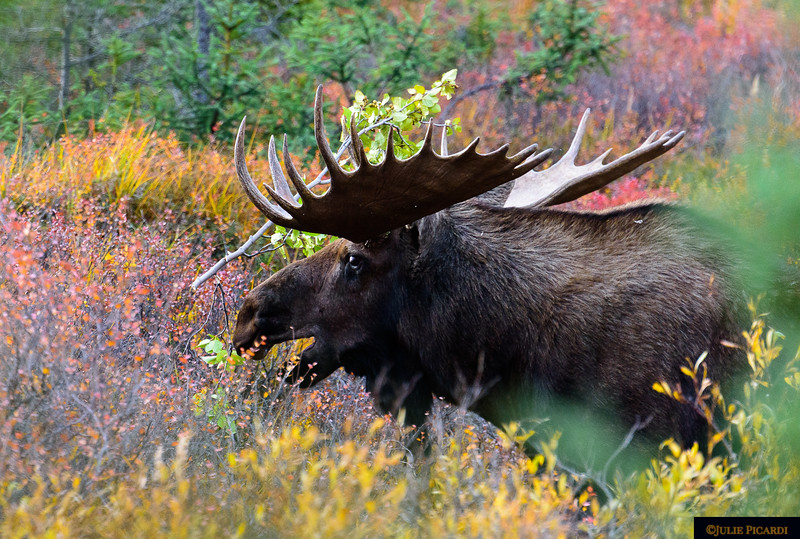 Wearing his prize after thrashing the brush, this big bull moose verbalizes his presence.