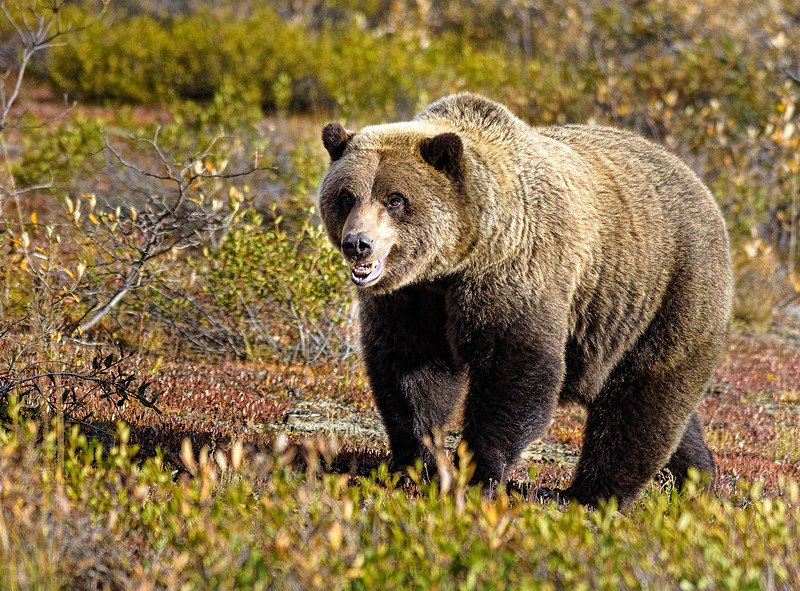 This grizzly, photographed from the safety of our bus, seems to be posing for us.