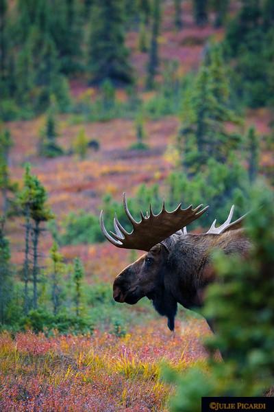 Big bull moose just behind the cabins of Camp Denali.
