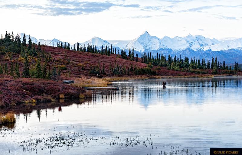 Moose foraging in Wonder Lake.
