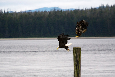 Eagles playing at the village of Old Masset.