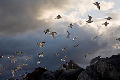 Seagulls Arisaig, Nova Scotia