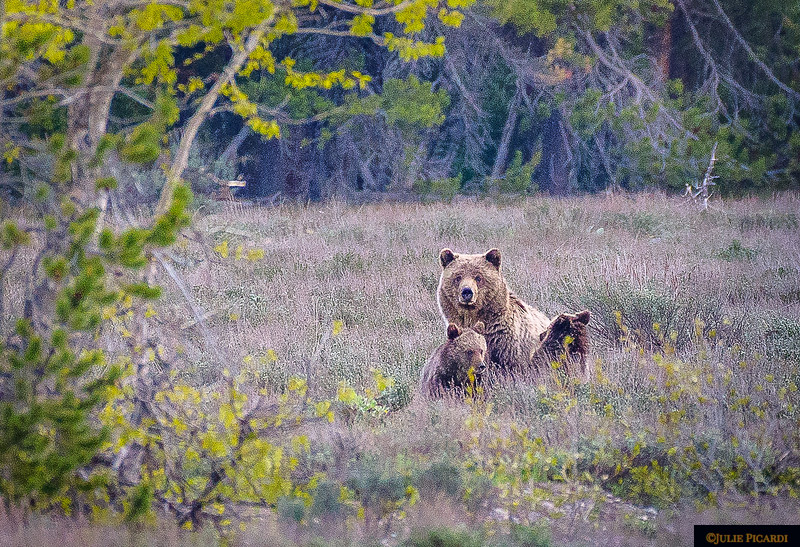 Blondie, grizzly bear #793 seen here with her 2 cubs in May 2018.