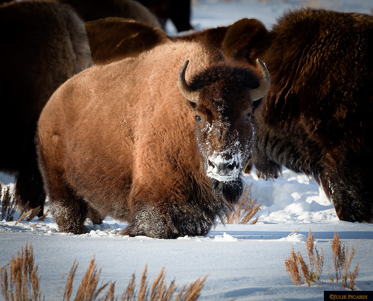Bison Cow in Teton National Park