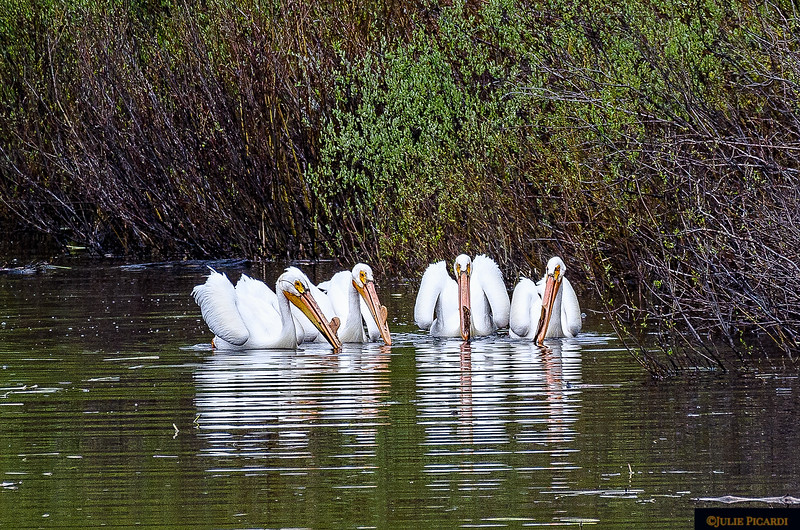 Great White Pelicans posing for their picture. May 2018