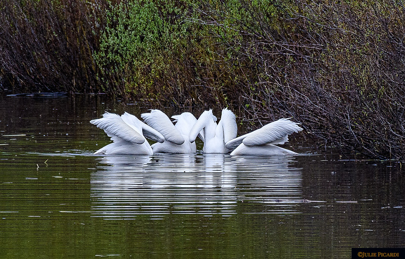 As if on cue, the pelicans submerge together in a graceful, synchronized, ballet. May 2018