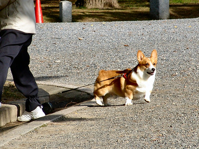 What royal palace would be complete without a Corgy?