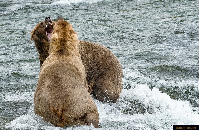 Sometimes tempers got a little out of hand, but we never saw a major fight among the bears, just major posturing.