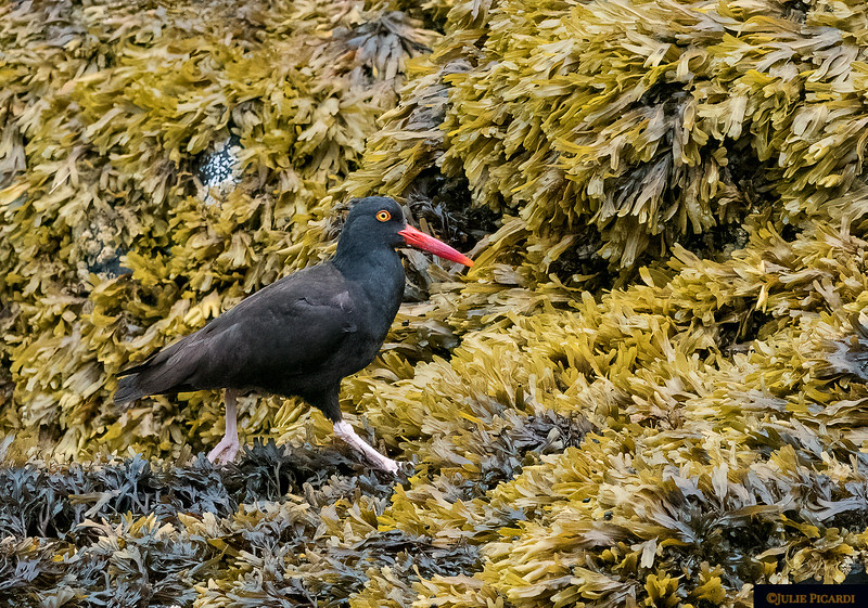 Instead they enjoy little crustaceans such as mussels, whelks and limpets which they find on the rocks below the tide line.