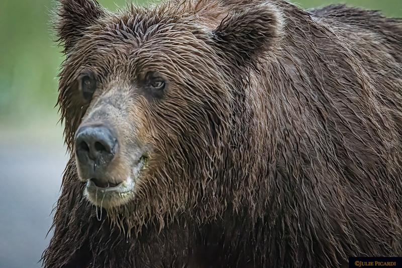 Closeup of a big boar