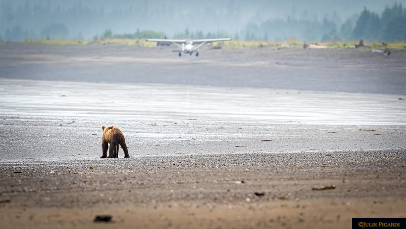 The bear watches as the plane lifts off.