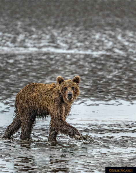 Alaskan Grizzly Bear  Steps Across the Mud Flats Portrait Aspect