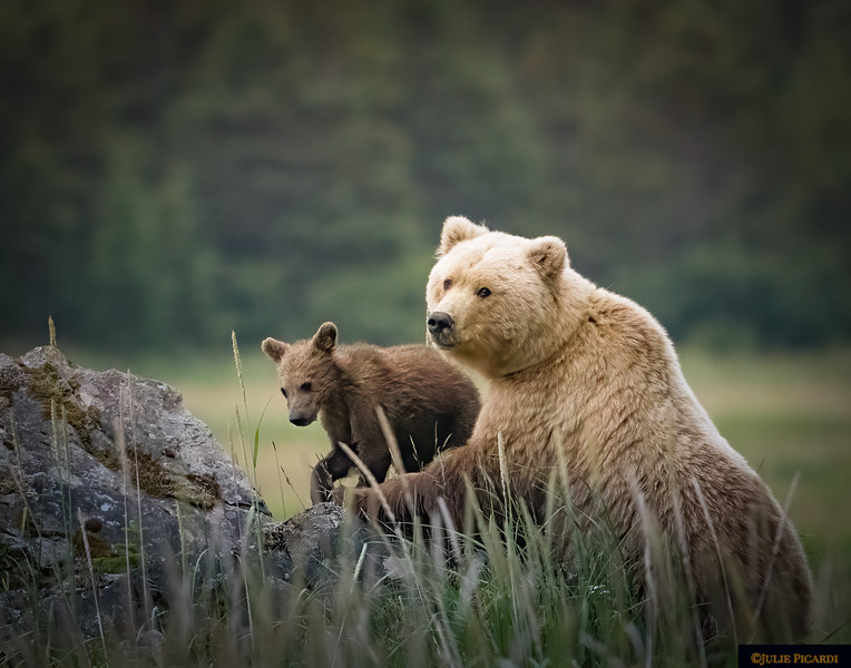 Mama Grizzly With Cub