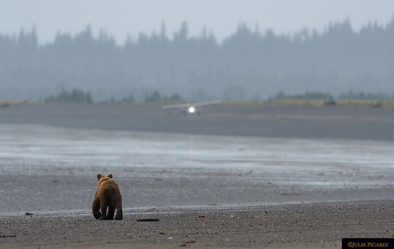 Coastal Brown Bear watches the beach plane depart.