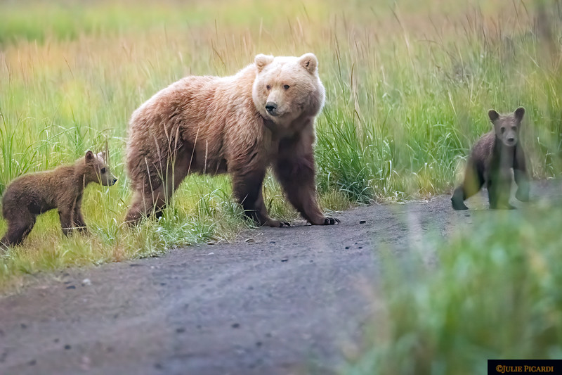 Mama and cubs cross the road after nursing.
