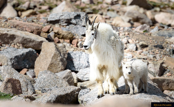 Nanny goat with her kid.