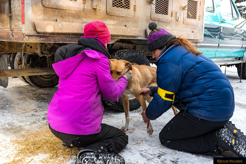 A vet checks out one of the sled dogs from Rachel Courtney Grand Racing Kennels.