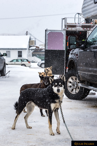These dogs are quite friendly as are their owners. Visitors are welcome to walk about the trailers, meet the dogs and their mushers.